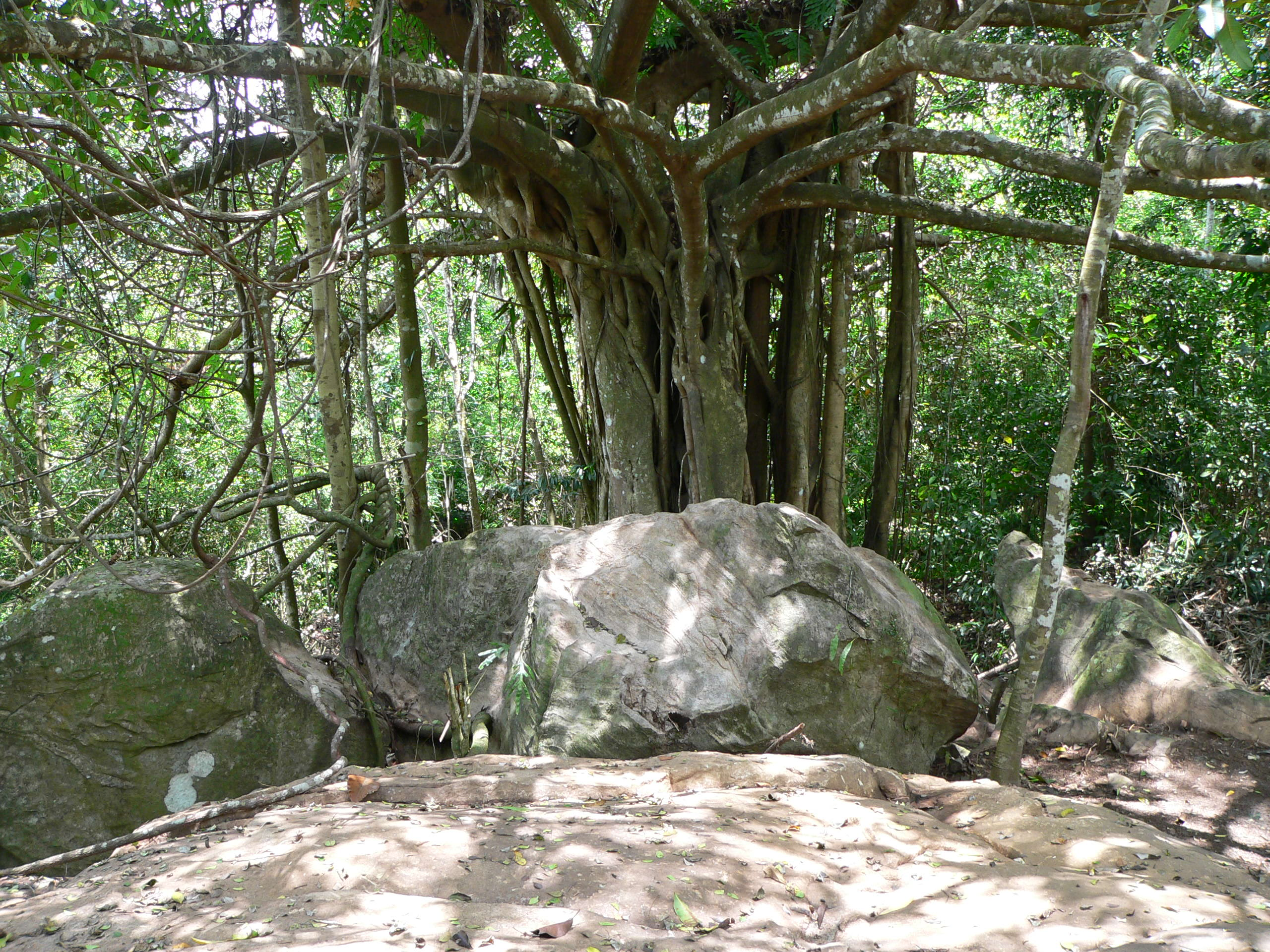 The sacred Banyan Tree